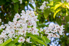 Flowering tree Catalpa bignonioides. White flowers and green leaves on blurred background.  Royalty Free Stock Photos