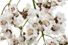 Flowering tree of Catalpa, lat. Catalpa speciosa, isolated on wh. Ite background Royalty Free Stock Photography