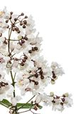 Flowering tree of Catalpa, lat. Catalpa speciosa, isolated on wh. Ite background Royalty Free Stock Image