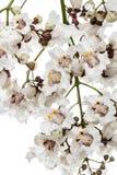 Flowering tree of Catalpa, lat. Catalpa speciosa, isolated on wh. Ite background Stock Photos