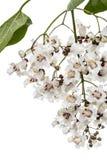 Flowering tree of Catalpa, lat. Catalpa speciosa, isolated on wh. Ite background Stock Photo