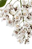 Flowering tree of Catalpa, lat. Catalpa speciosa, isolated on white background royalty free stock images