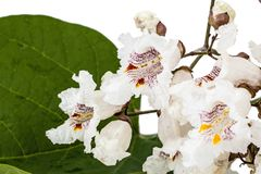 Flowering tree of Catalpa, lat. Catalpa speciosa, isolated on wh. Ite background Stock Photo