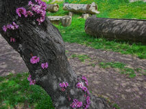 Flowering tree Cercis. The trunk of the tree Cercis with blooming flowers in spring, filmed on a Sunny day Royalty Free Stock Images