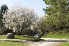 Flowering tree, cherry blossom, path in the park, spring. Flowering tree, cherry blossom, path in the park, pine , spring Stock Image
