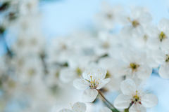Flowering Tree. Close-up Of Flowers On The Branches, Spring Background. Shallow Depth Of Field. Soft Picture Stock Photo