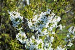 Flowering tree Royalty Free Stock Image