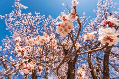 Flowering Tree Closeup Royalty Free Stock Photo