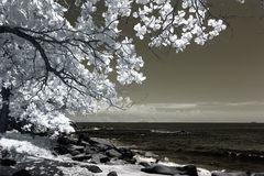 Flowering tree on coast, infrared Royalty Free Stock Photos