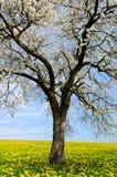 Flowering tree on dandelion field. Royalty Free Stock Photo