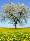 Flowering tree on dandelion field. Stock Images