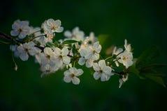 Flowering. Flowering tree in dark spring light stock image