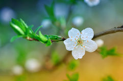 Flowering tree in dew Stock Photos