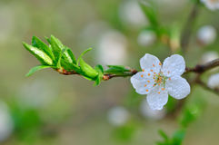 Flowering tree in dew Royalty Free Stock Photos