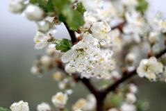 Flowering tree with drops of dew Royalty Free Stock Photography