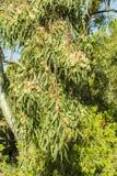 Flowering tree eucalyptus Royalty Free Stock Photos