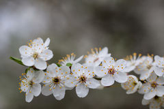 Flowering tree. Stock Images