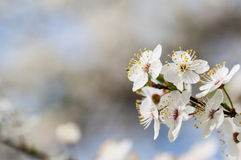 Flowering tree. Royalty Free Stock Images