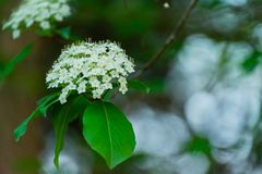 A Flowering Tree in the Forest stock images