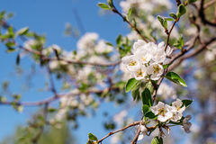 Flowering tree in the garden. Flowering tree in the spring garden Royalty Free Stock Images