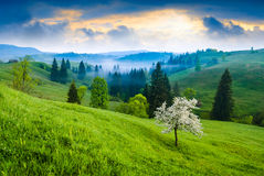 Flowering tree on a green hill Stock Photos