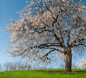 Flowering Tree on Hill Royalty Free Stock Image