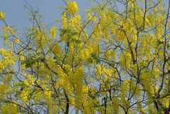 Flowering tree- Indian laburnum-Cassia fistula Royalty Free Stock Photos
