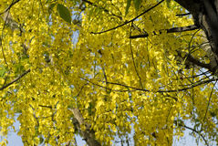 Flowering tree- Indian laburnum-Cassia fistula Stock Images