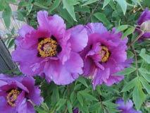 Flowering of a tree-like peony Royalty Free Stock Photos