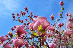 Flowering tree of magnolia Stock Images