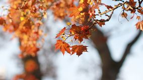 A flowering tree is a maple in the rays of the setting sun. Spring landscape - a blossoming maple with bright orange leaves against the blue sky. A flowering stock video