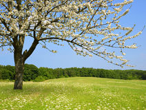 Flowering tree on meadow. Stock Photos