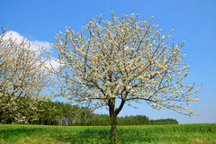 Flowering tree on meadow. Stock Photos
