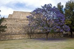 Flowering tree, Mexico Stock Images