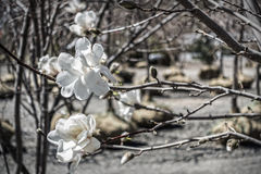 Flowering tree in nursery Royalty Free Stock Image