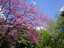 Flowering tree. Flowering  tree in a park Stock Images