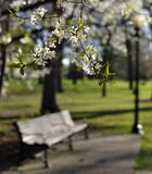 Flowering tree and park bench Royalty Free Stock Images