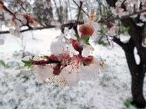 Flowering on the tree perishes from the snow Stock Photo