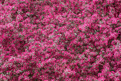 Flowering tree in pink Stock Images