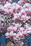 Flowering Tree. Pink and white floral Tree in sprintime royalty free stock photos