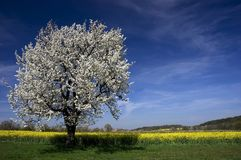 Flowering Tree Rapeseed Field stock image