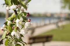 Flowering tree by the River. The branch of a flowering tree in a park by the river. a bench in the trnqueel setting royalty free stock image