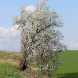 Flowering tree on the roadside, Prunus mahaleb Stock Photos