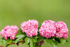 Flowering tree roses closeup Stock Image