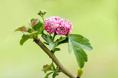 Flowering tree roses closeup Royalty Free Stock Photos
