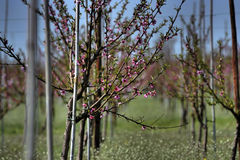 Flowering tree saplings Royalty Free Stock Photo