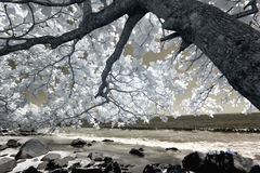 Flowering tree on shore, infrared Royalty Free Stock Photography