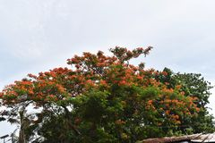 FLOWERING TREE AND SKY stock photography