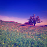Flowering Tree Stock Photography