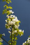 Flowering Tree in Spring Stock Images
